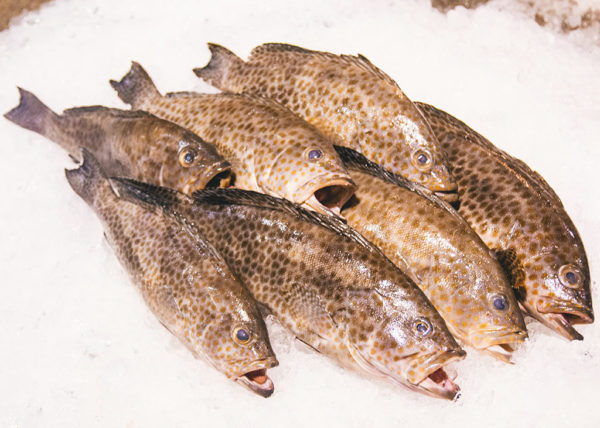 greasy grouper fish delivery