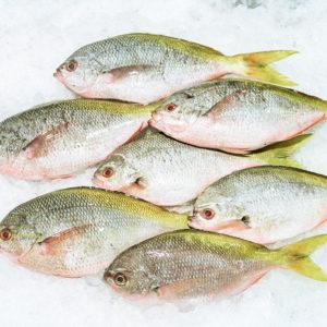 yellowtail fish